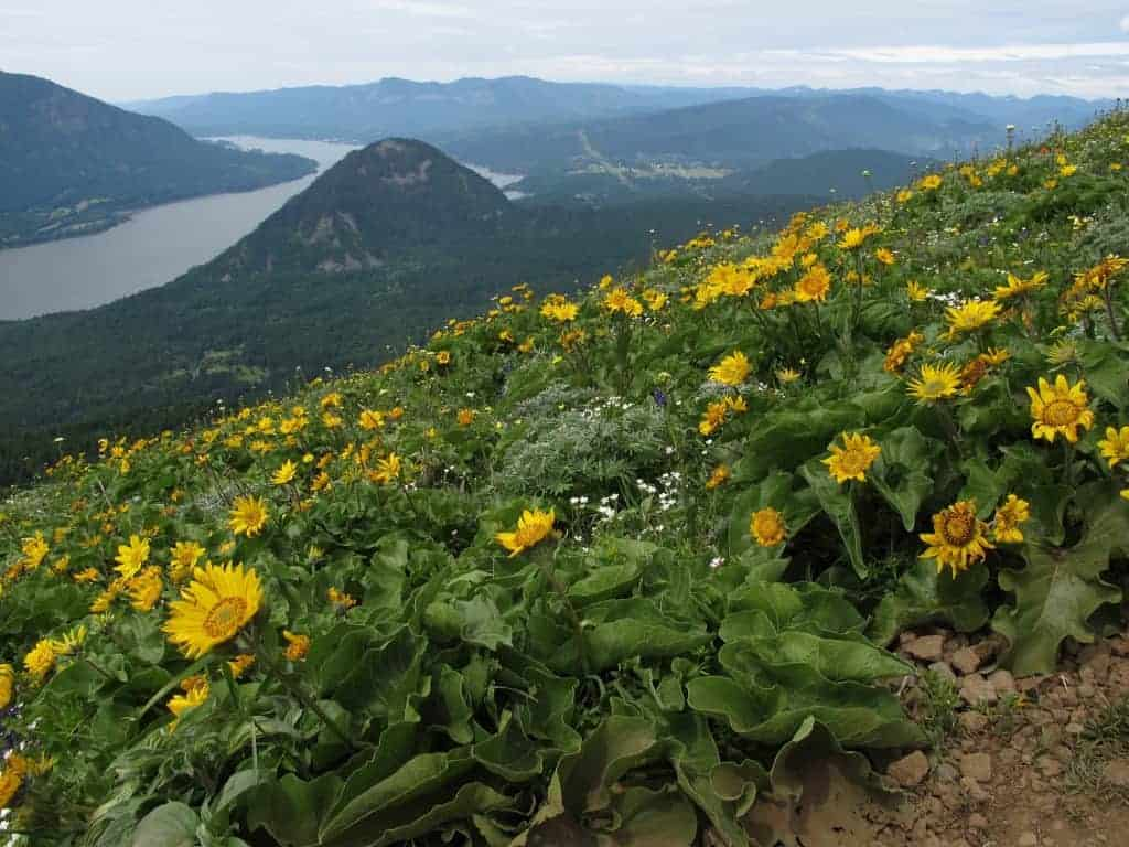 dog mountain columbia gorge wildflower hikes