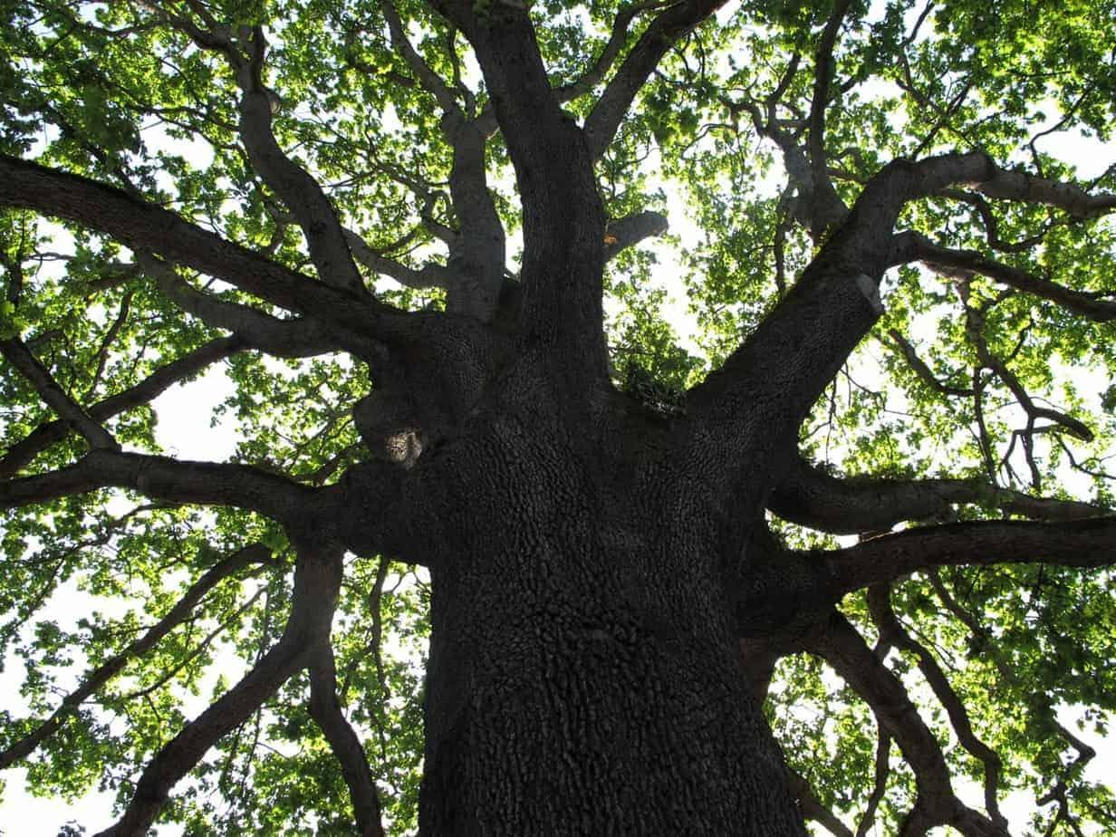 Portland Heritage Trees Oregon White Oak