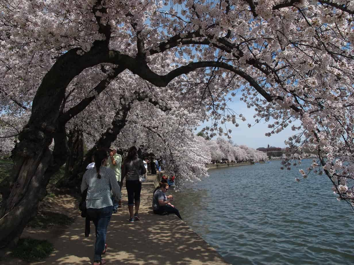 Cherry blossoms at the Jefferson Memorial in Washington, DC