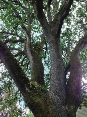 Portland Heritage Trees - Corbett Oak