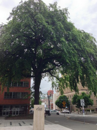 Portland Heritage Tree #1 is an American Elm Downtown