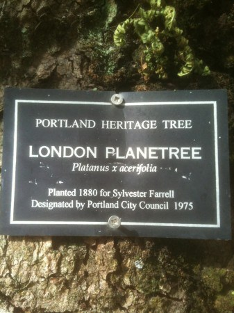 Portland Heritage Tree #2 is a London Plane tree downtown on the Park Blocks. It was planted in 1880.