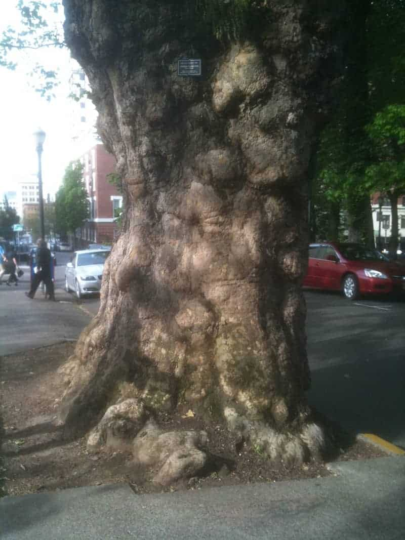 This amazing London plane tree by the Park Blocks was planted in 1880 and is a Portland Heritage Tree.