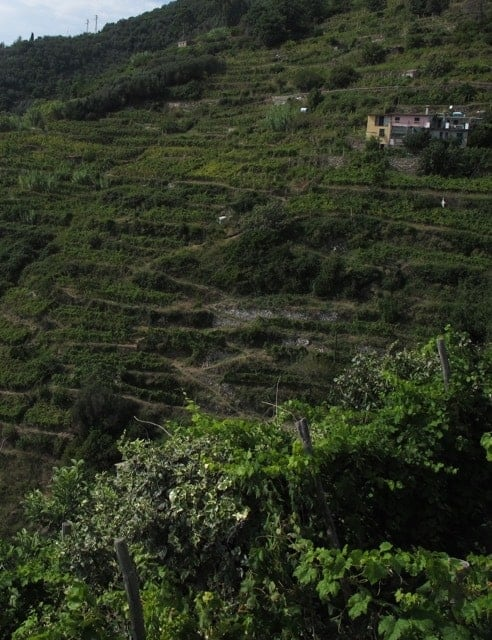 The steep vineyards of Cinque Terre, Italy.