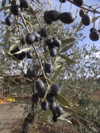 Olives on the tree, just before picking time, in Tuscany.