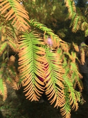 Detail of the dawn redwood.