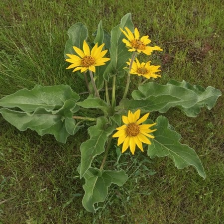 Balsamroot on Coyote Wall